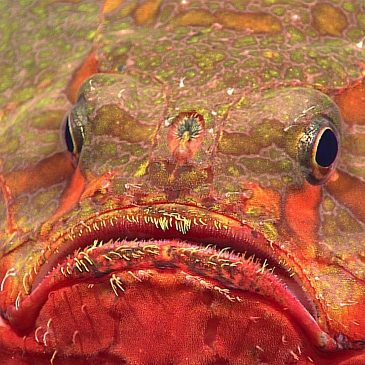 A picture of a toadfish